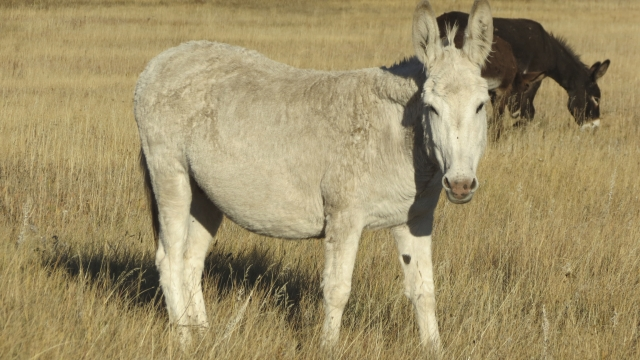 Wildfire burns beloved burros in South Dakota's Custer park