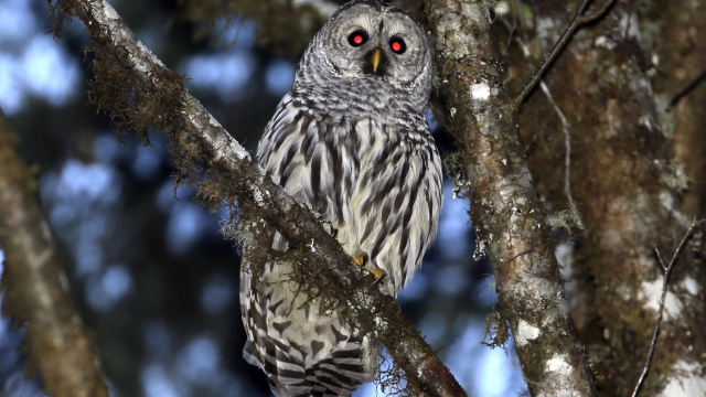 Court OKs killing a type of owl to see effect on other owls